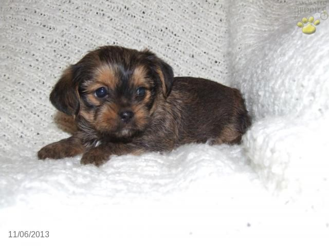 Shorkie Puppy For Sale Shorkie Puppies Shorkie Puppies For Sale