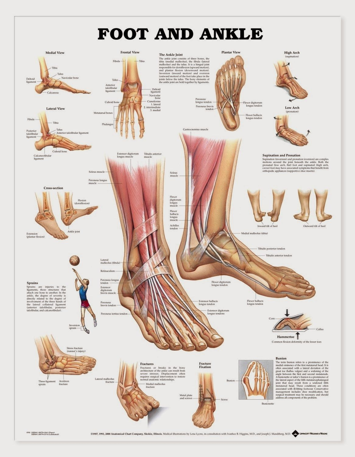 Foot Map Bones Muscles Foot Map Bones Muscles Human Anatomy Charts Ankle Anatomy Muscle Anatomy Foot Anatomy