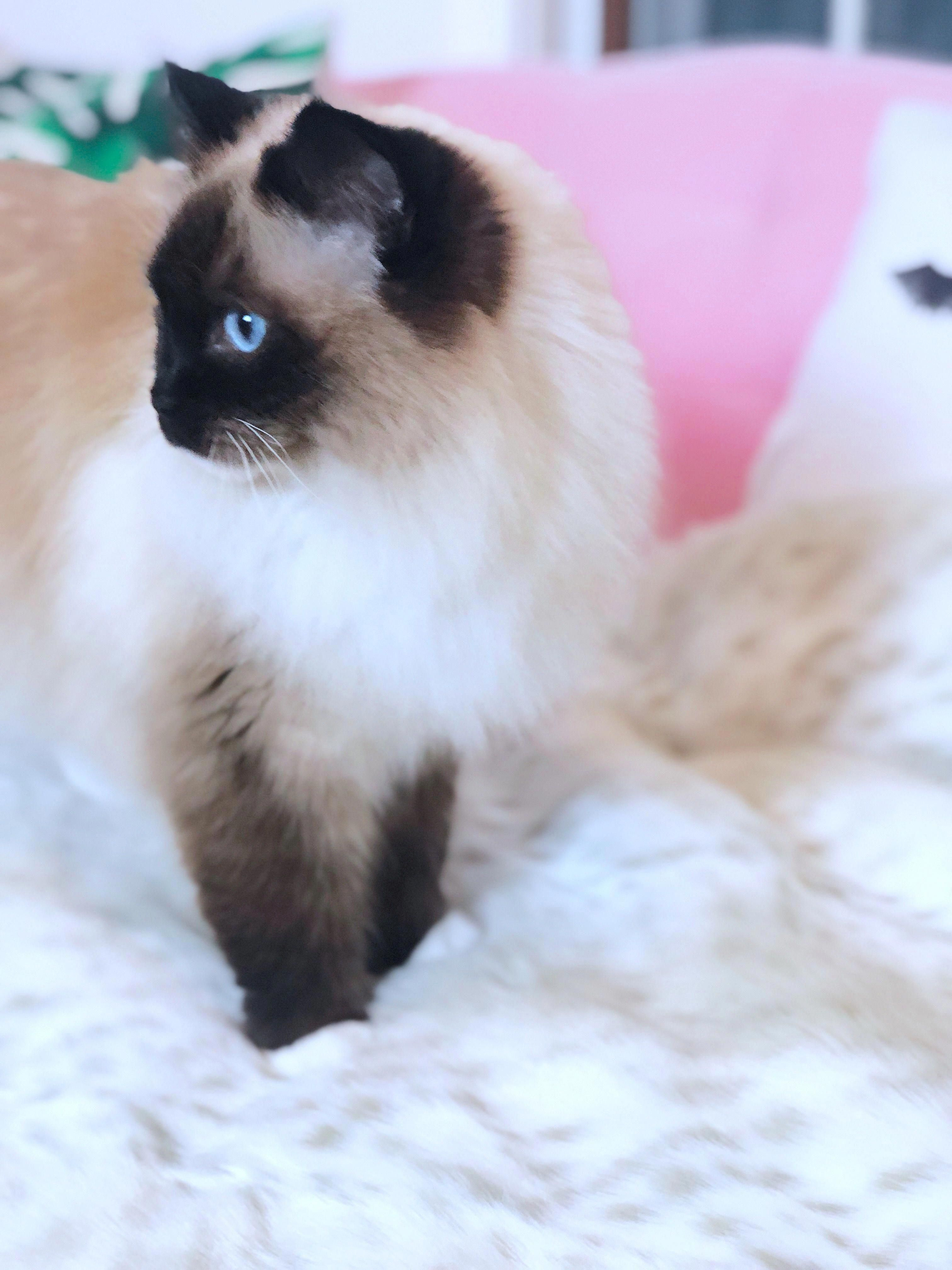 Cute cats and kittens Ragdoll cat with blue eyes Cat photos and images Cute animal photos This kitty is adorablecatragdollcutecatscuteanimals...