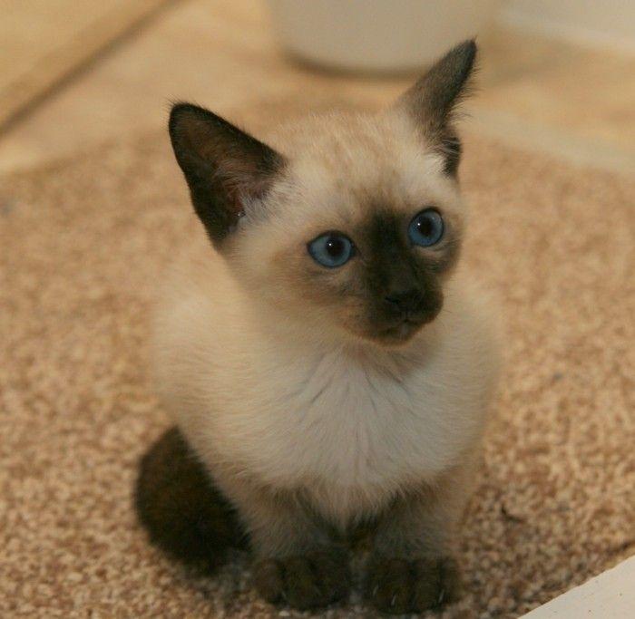 chat siamois caractère , un bébé chat siamois