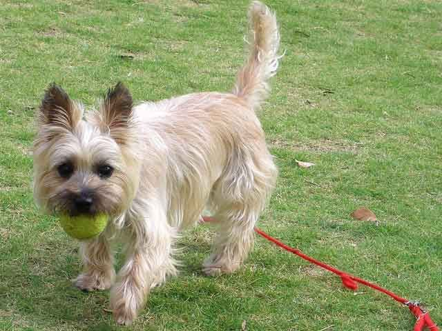 Simple Cairn Terrier Ball Adorable Dog - 9c5943e8c1073eebdff9c9e9685471c1  Graphic_383466  .jpg