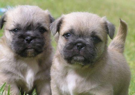 Pug And Shih Tzu Pug Zu Super Cute Dogs Pug Mixed Breeds