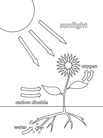 Fotosíntesis. Dibujo para colorear | Ciencias | Pinterest | Ciencia ...