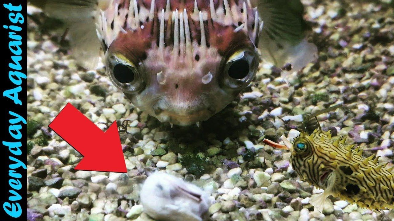 These Puffer Fish Are So Cute Feeding 8 Different Species Of Puffer Fish Compilation Youtube In 2020 Puffer Fish Fish Species