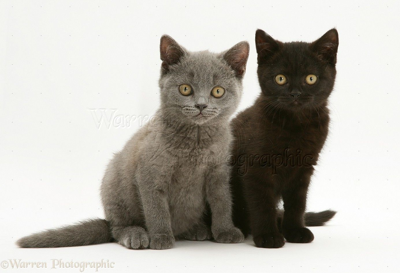 Click To Close Image Click And Drag To Move Use Arrow Keys For Next And Previous Grey Kitten British Shorthair Kittens British Shorthair
