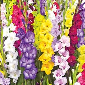 Tutti Frutti Gladiolia Mix | Buy Garden Plants Online