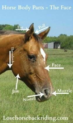 Basic Horse Body Parts You Need to Know