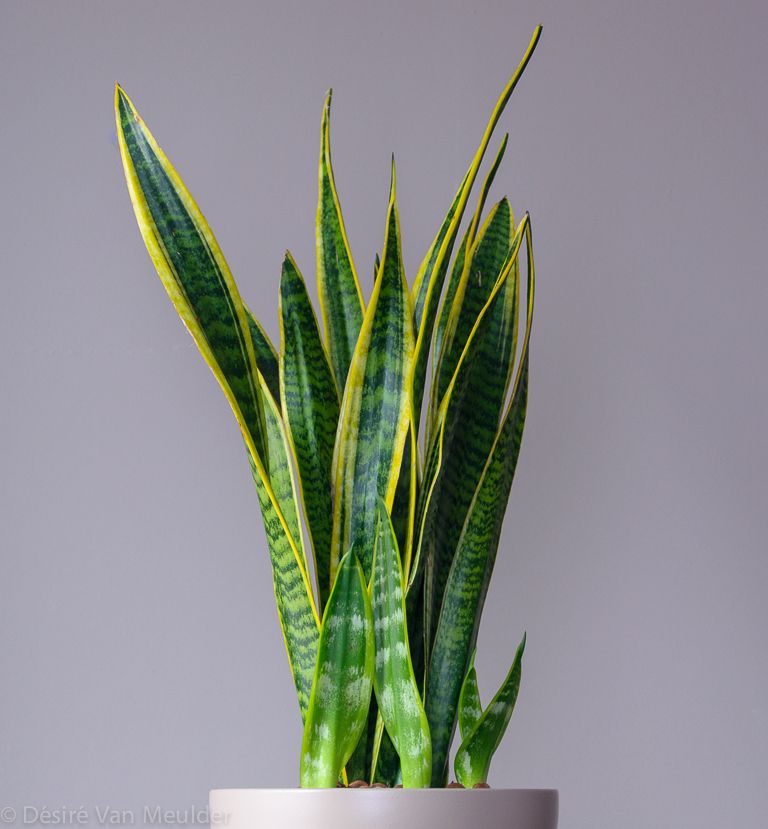 Best indoor plants to improve your health: Snake, Aloe Vera, English Ivy, Rosemary, Lav and Jasmine!