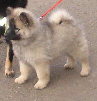Darchen Dark Crystal Dog Cat Pets Animals