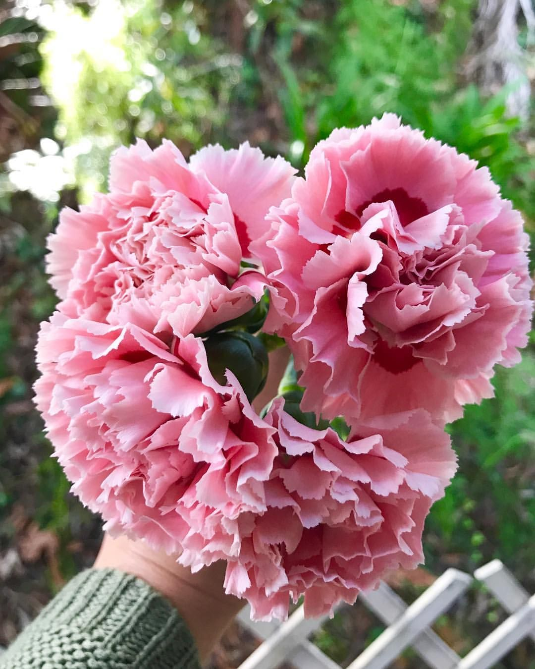 Carnations Growing Tips
