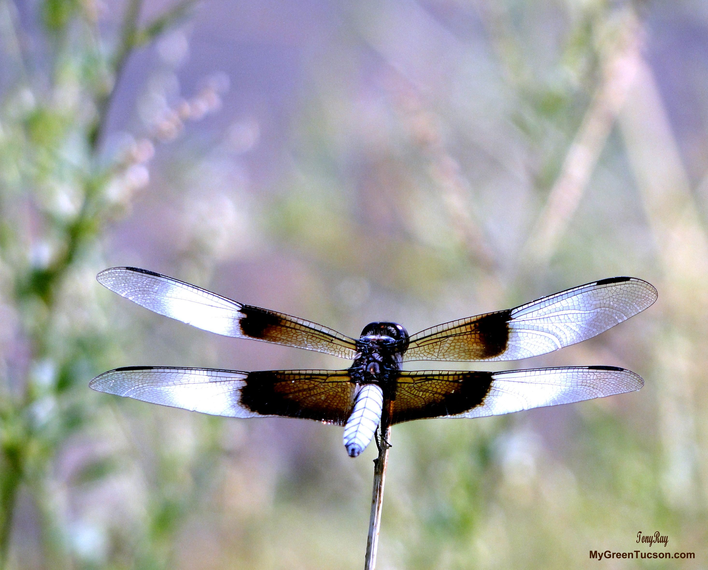 Dragonfly at Fool Hollow Lake in Show Low AZ taken with a Sony Cybershot DSC-HX1 from about 8 feet away www.MyGreenTucson... #dragonfly #dragonflies