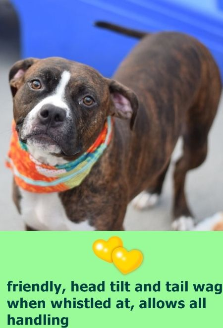 SAFE 10/11/16 --- Brooklyn Center TORRE – A1091220  NEUTERED MALE, BR BRINDLE / WHITE, AM PIT BULL TER / BOXER, 3 yrs STRAY – ONHOLDHERE, HOLD FOR ID Reason STRAY Intake condition EXAM REQ Intake Date 09/25/2016  http://nycdogs.urgentpodr.org/torre-a1091220/
