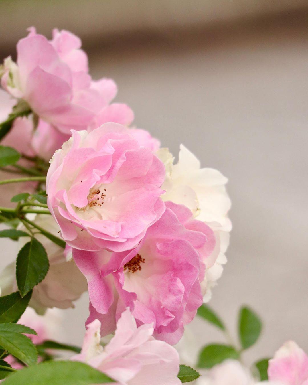 Hk On Instagram 薔薇 花の写真 ボケフォトファン 花いっぱい計画 カメラ女子 Hanamap Flower Special Lovely Flower Wp Flower Fleur Noblesse Team Jp Flo Flowers Plants Rose