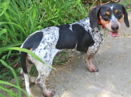 Snickerdoodles Dachshund Dog Houston TX (With images