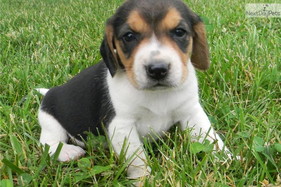 Meet Harper A Cute Beagle Puppy For Sale For 700 Harper