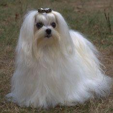 The 25 Smallest Dog Breeds Hypoallergenic Dog Breed Dog Breeds