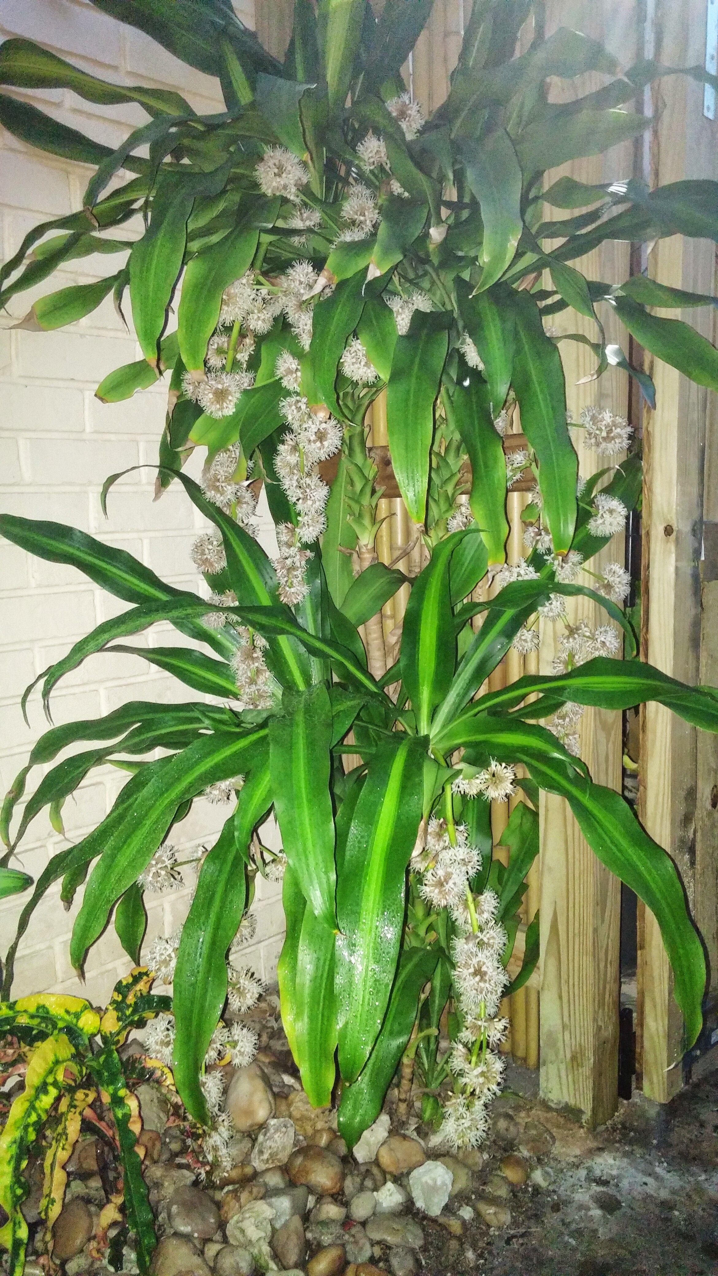 corn plant dracaena fragrans in bloom dec 31 2015. Black Bedroom Furniture Sets. Home Design Ideas