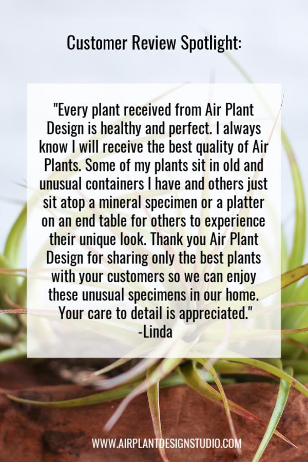 Customer Reviews Air Plant Design Studio Air Plants Tillandsia Air Plant Plant Design