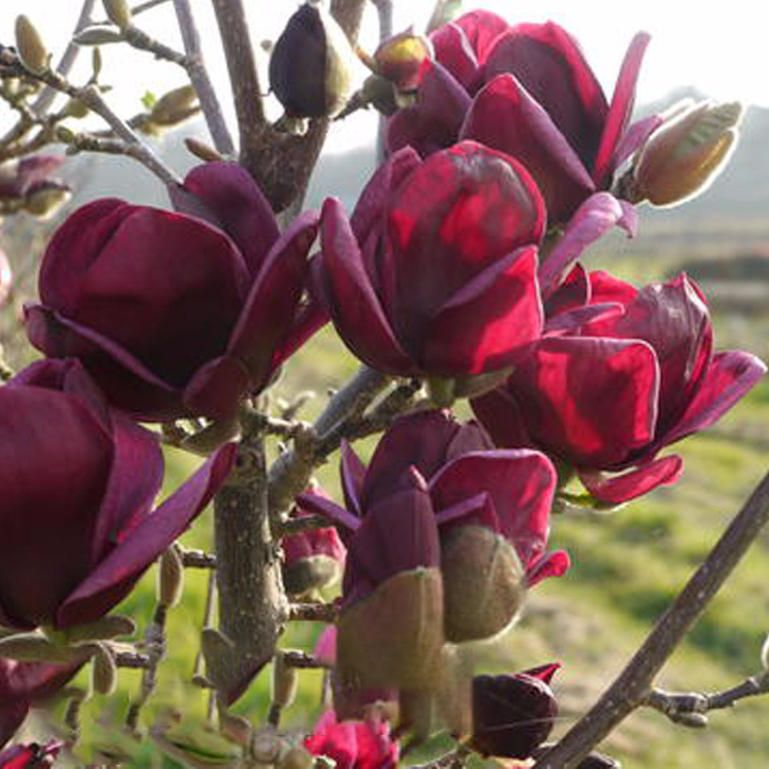 Egrow 10pcs Bag Magnolia Seeds Deep Purple Black Magnolia Yulan