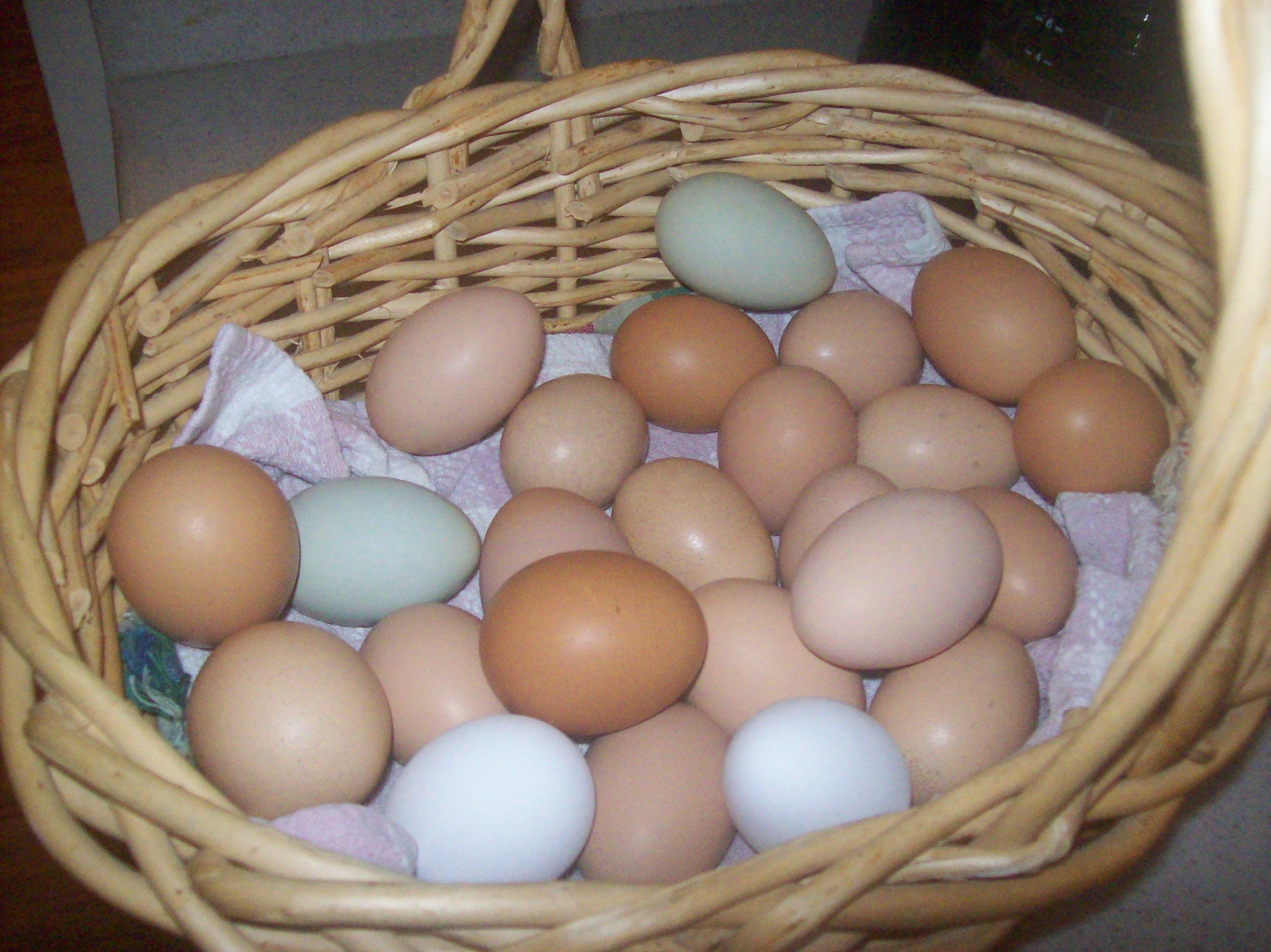 The benefits of Raising Free Range chickens | Free range ...