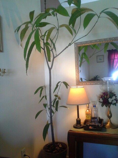 Arbol de mango en maceta como decoraci n de interior muy - Arboles decoracion interior ...