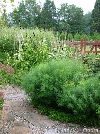 Amsonia Hubrichtii In Summer Drought Tolerant Landscape Design