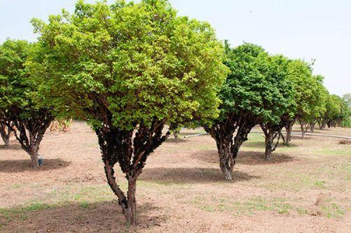 25 Arvores Para Plantar Na Calcada Sem Destrui La Arvores Para