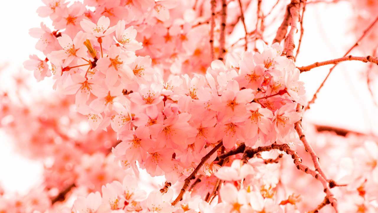 Krieg der Kirschblüten - Woher stammt der Kirschblütenbaum ...