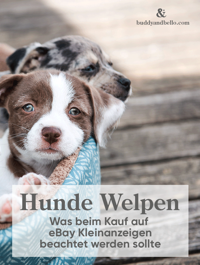 Welpen Auf Ebay Buddy Bello Welpen Hunde Welpen Hunde Babys