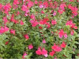 Arbuste Fleur Rouge Fleur De Couleur Orange Vap Vap