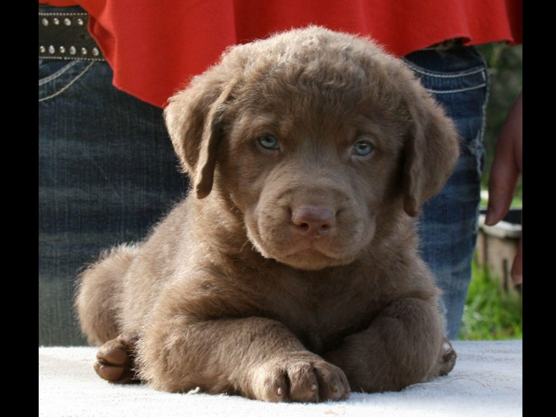 Image result for pics chesapeake bay retriever puppies