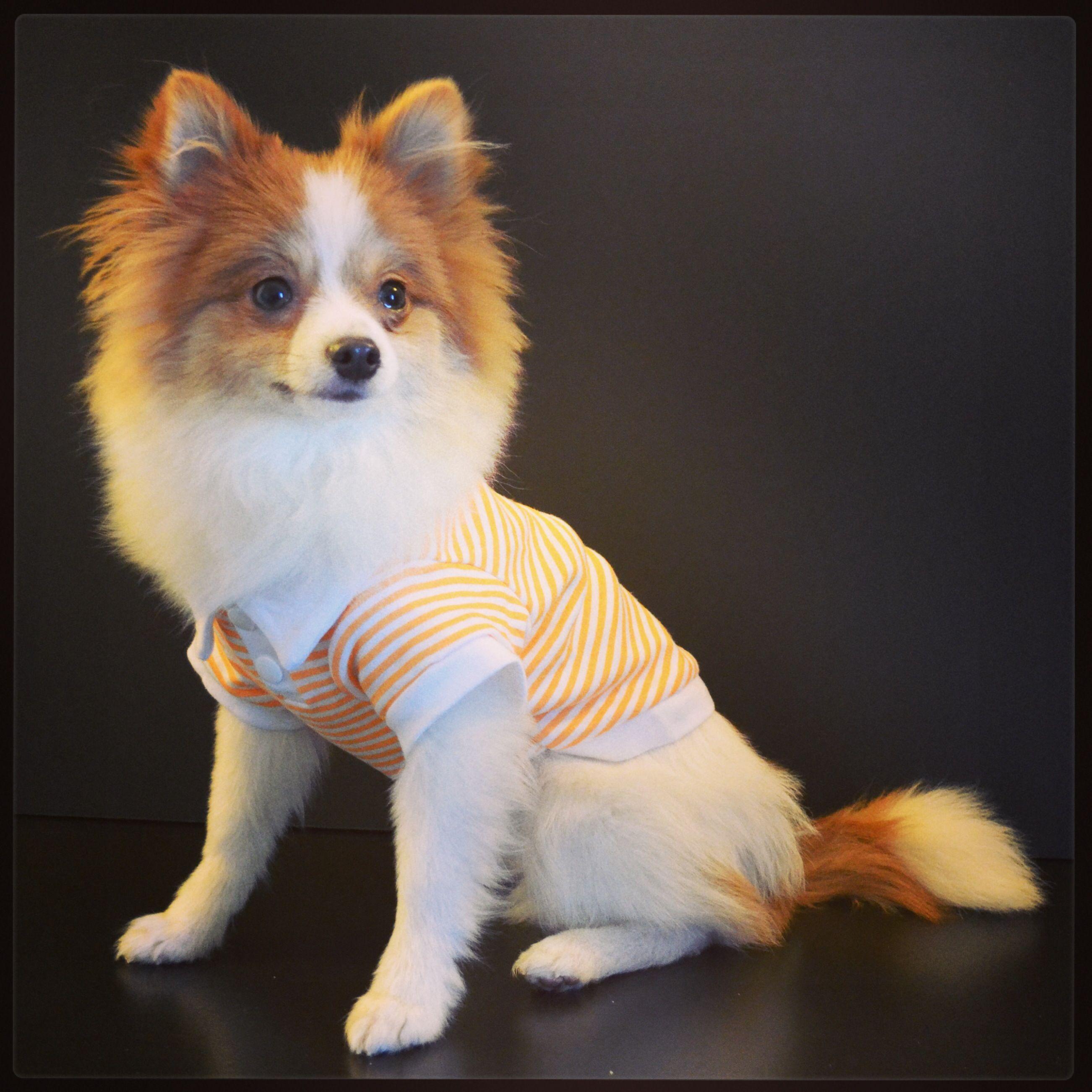 dog that looks like a fox - HD2603×2603