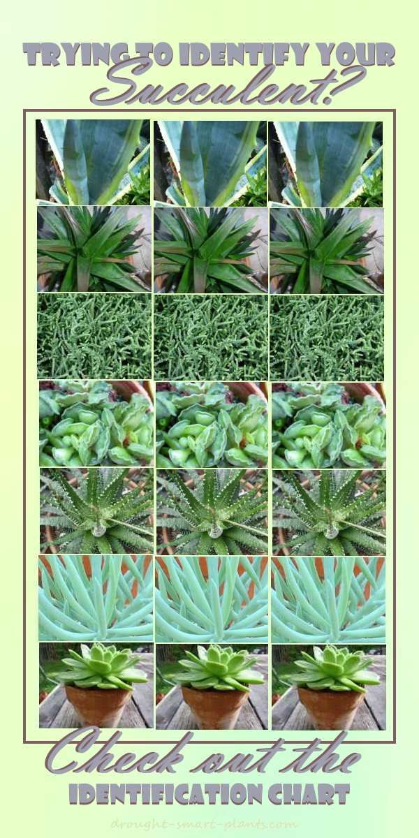 succulent identification chart find your unknown plant here garden succulents planting. Black Bedroom Furniture Sets. Home Design Ideas