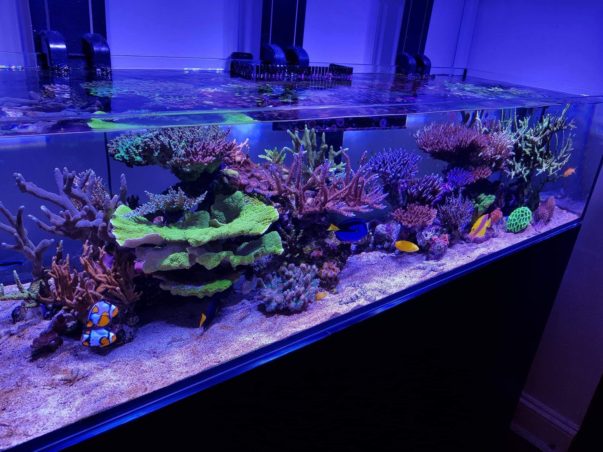 Red Sea reefer 450 with shallow tank sps reef hydra 26hd royal