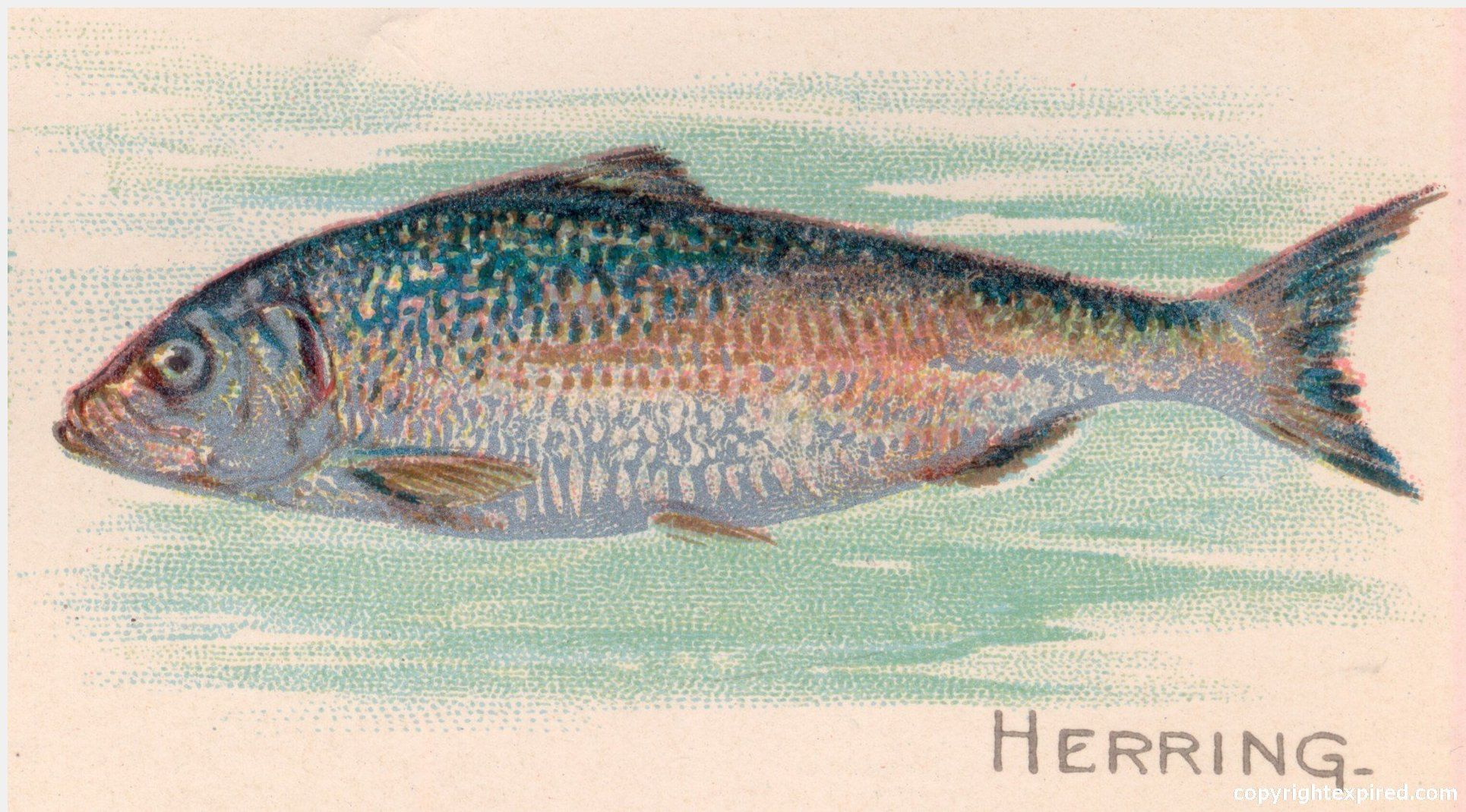 herring illustrations - Google Search