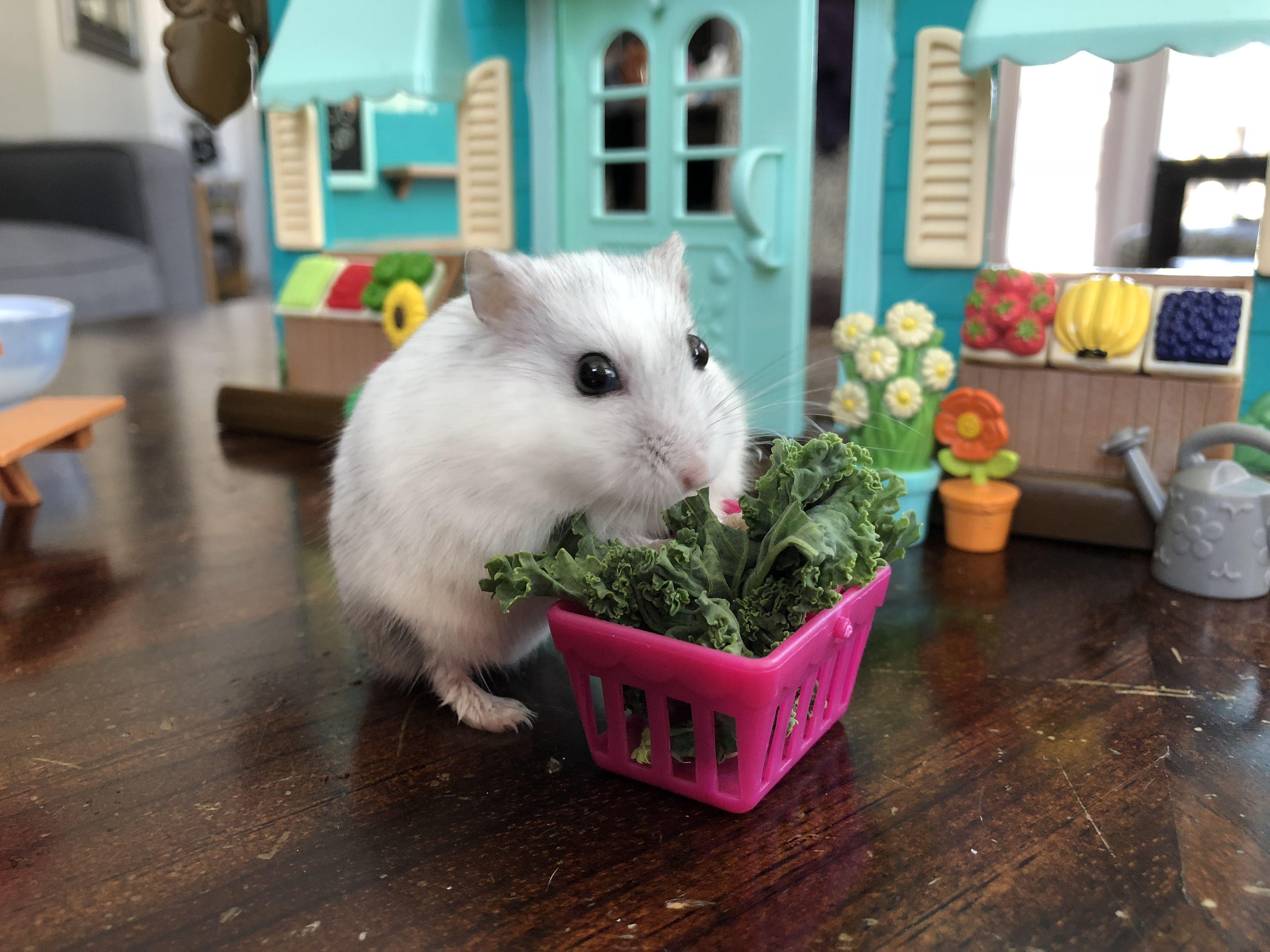 White Djungarian Dwarf Hamster Her Favorite Food Is Kale