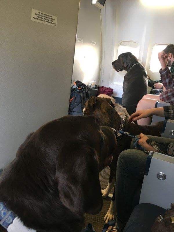 Westjet flying out evacuees and their pets from the Fort