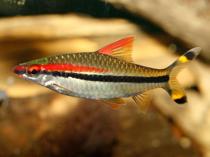 IUCN Red List and aquarium fish - INJAFINJAF