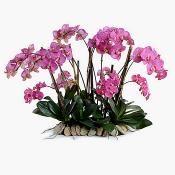 Phalaenopsis Flowerscapes