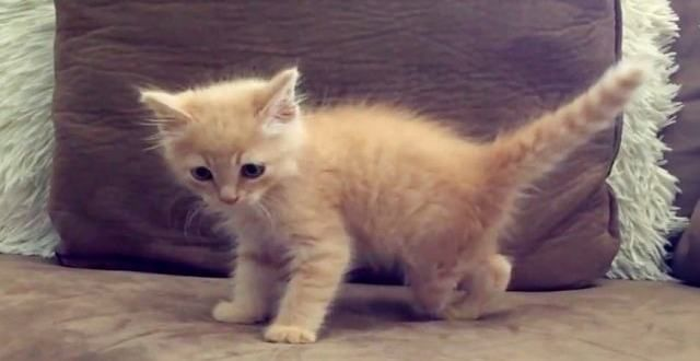 Rescued Ginger Kitten With One Missing Foot Gets Ginger Kitten Kitten Rescue Cat Lovers