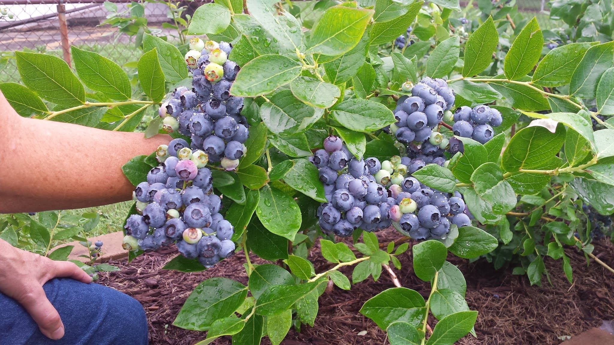 Plant Blueberry Bushes Now To Enjoy Giant Quarter Size Tasty