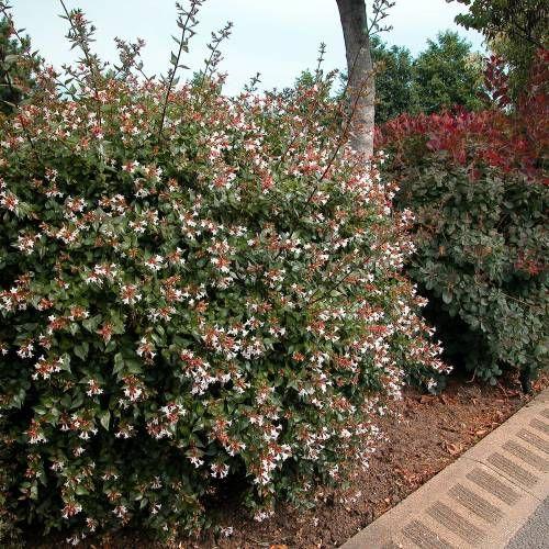 abelia grandiflora plantas bordillos jardin plantas