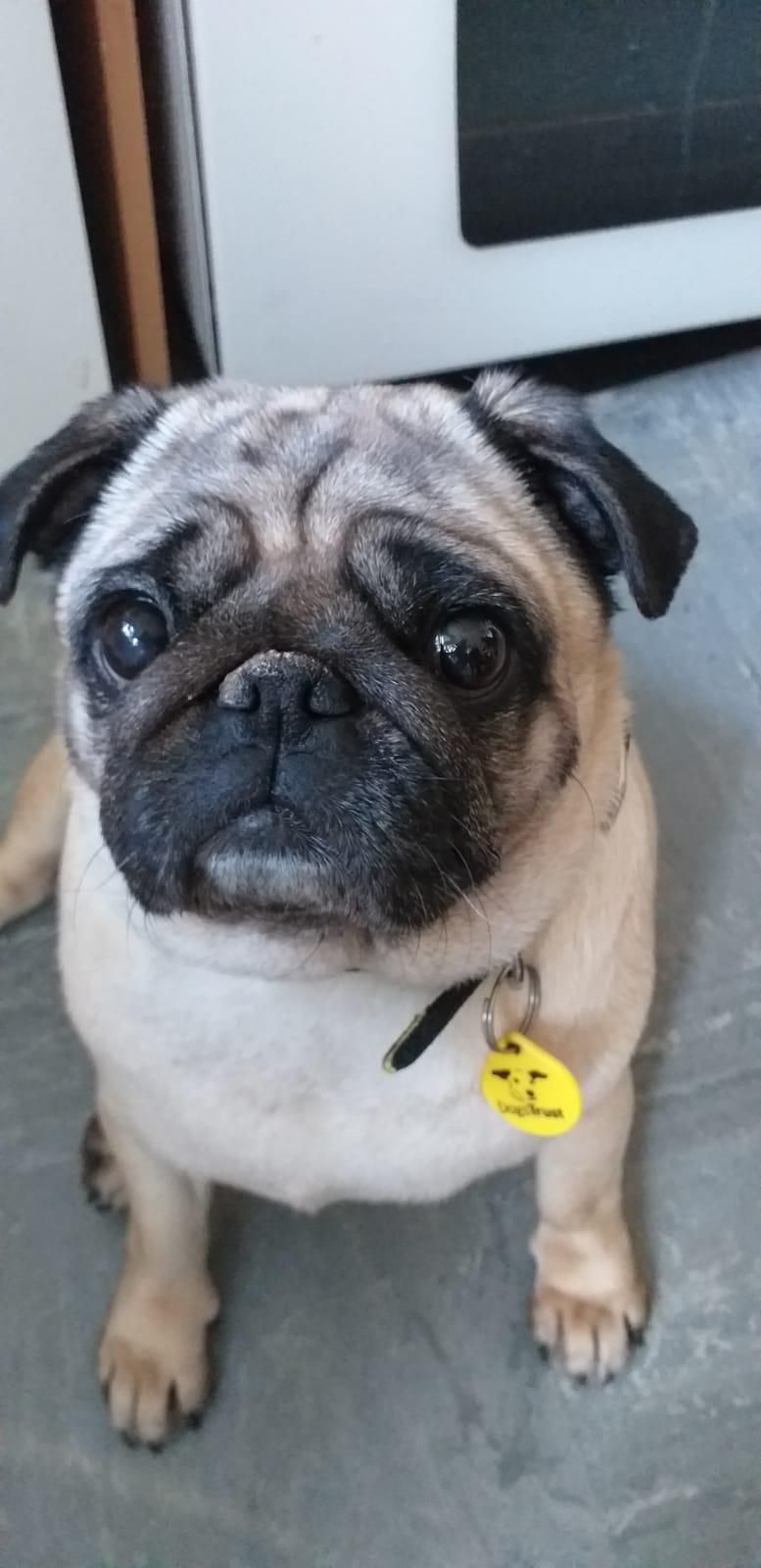 Pin On Dogs Pugs In Rescue