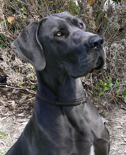 Great Dane Dog Breed Information Great Dane Dogs Dane Dog Blue