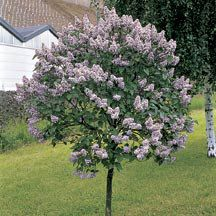 Canada Gem Lilac Tree Lilac Shrubs Shrubs Trees Jung Garden And Flower Seed Company Lilac Tree Dwarf Korean Lilac Tree Korean Lilac Tree