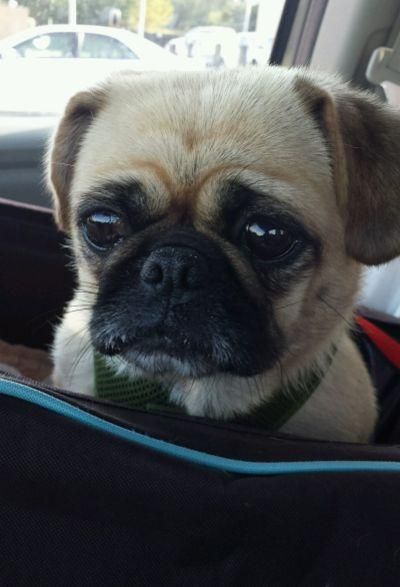 Adopt Snuggles On Snuggles Pug Rescue Pup