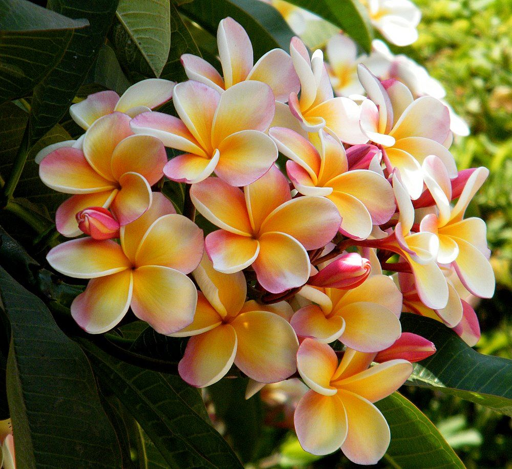 If I Still Lived In Florida I Would Have Frangipani Trees All Over
