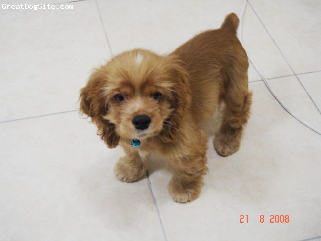 Cocker Spaniel 2 1 2 Months Old Tan Adorable And Loveable
