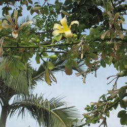 Photo of Ceiba chodatii tree flower