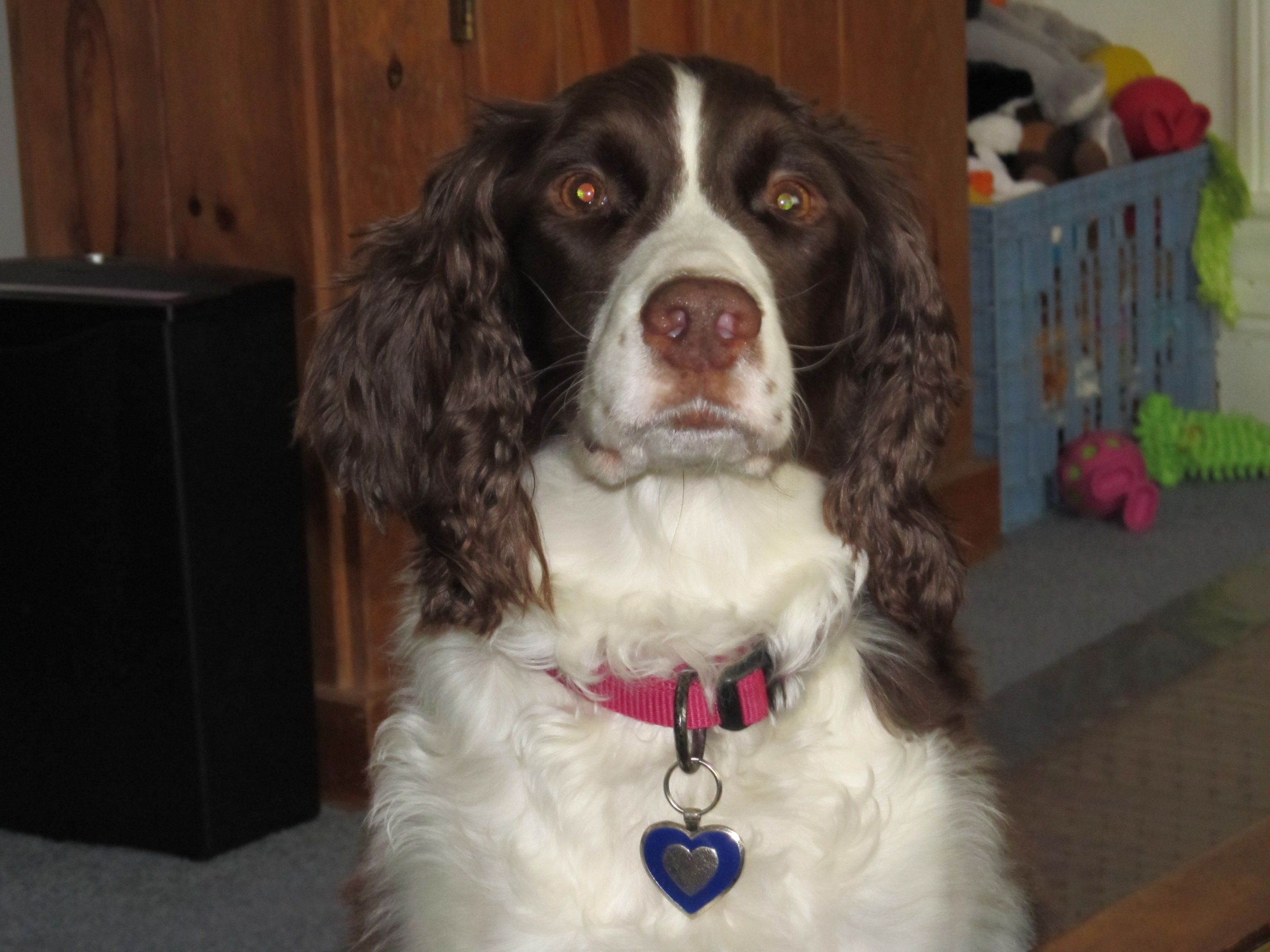 Princess Of The Mountain Top Liver And White English Springer Spaniel She Is The Ring Leader Of T English Springer Spaniel English Springer Springer Spaniel